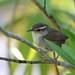 Bewick's Wren (Jonah Benningfield) Tags: bewicks wren bird