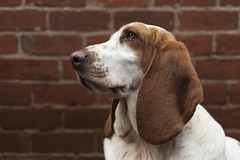 Mabel (Michael Crookes) Tags: basset hound dog