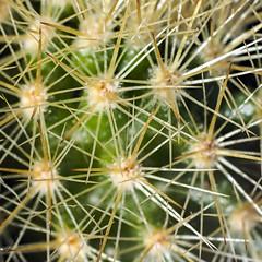 _7225283 (aussiephil1960) Tags: macro olympus60mmf28 em1mk2 em1markii cactus