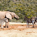 Elephant drinking water while the other Zebras is standing around