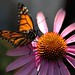 Monarch Butterfly spreading her wings, ready to fly to Mexico by sheldn