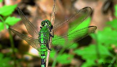 Wings (Suzanham) Tags: dragonflywings odonata dragonfly insect easternpondhawk commonpondhawk greenclearwing insecta bug flight hover green gossamer translucent wings fly macro