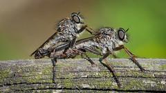 Raubfliegen (Asilidae) bei der Paarung (AchimOWL) Tags: tier tiere animal makro macro outdoor dmcgx80 gx80 natur nature lumix panasonic postfocus ngc macrodreams schärfentiefe wildlife stack raubfliege fly zweiflügler diptera robberfly