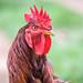 Galinha Pollo Chicken