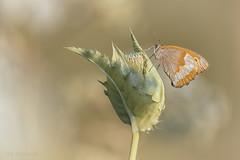 Ochsi (Skodiar) Tags: handheld natur nature makro macro tele ochsenauge falter schmetterling butterfly