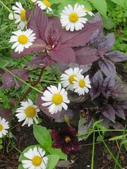 Dark Purple Things In My Garden (amyboemig) Tags: july flower garden basil purple red salpiglossis paintedtongue daisy summer