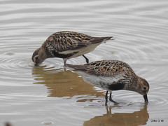 Dunlin (Diko G.W.) Tags: flambrough eastyorkshire thornwickpools dunlin waders nikonp900