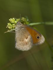 Au perchoir (Titole) Tags: procris butterfly titole nicolefaton papillon shallowdof
