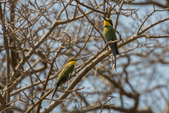 Swallow-tailed bee-eater (male and female) (Ring a Ding Ding) Tags: lakealbert meropshirundineus murchison murchisonfallsnationalpark maleandfemale pair nwoya northernregion uganda