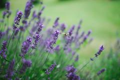 Just One Bee (Inka56) Tags: bee lavender bokeh closeup hbw dof