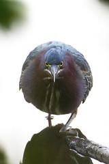 The stare down (John's Love of Nature) Tags: johnkelley greenheron butoridesvirescens lakelynn