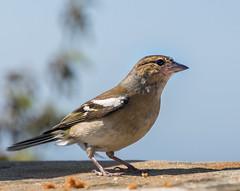 Ever Watchful! (Mac ind Óg) Tags: summer chaffinch scotland bird walking fringillacoelebs nts culzeancastleandcountrypark southayrshire animalplanet