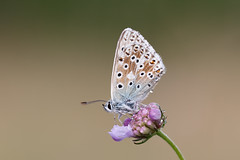 Chalk hill blue (Steve Balcombe) Tags: insect butterfly chalkhill blue lycaenidae polyommatus coridon male scabious poldens poldenhills poldenway somerset uk