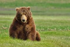 Yum... More grass (heric09) Tags: alaska katmai bear brownbear nature wildlife