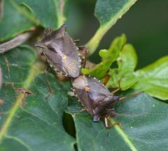 Forest bug (Alan Thornhill) Tags: forestbug cavenhamheath suffolk uk heteroptera pentatomidae pentatomarufipes