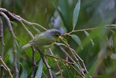Seicercus xanthoschistos (VadikSnegirev) Tags: seicercus xanthoschistos bird