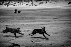 Dogs At Full Speed (galvanol) Tags: labrador holywellbeach beach paula nature dog sand race fun cornwall galvanol sea