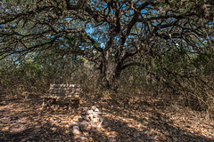 Live Oak - Government Canyon State Recreation Area - Bexar County - Texas - 12 February 2017 (goatlockerguns) Tags: live oak government canyon state recreation area bexar county texas usa unitedstatesofamerica south southern southwest nature natural woods trail starburst forest