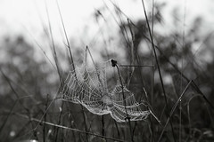 Lueur d'espoir (M_elanieb) Tags: nature toile brume brouillard canon 6d blackwhite blackandwhite spider web fog droplet canon6d canoneos6d canon24105