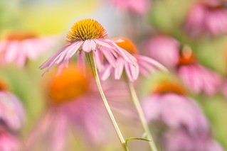 purpur Sinponie of the summer