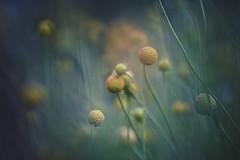 ball pit (christian mu) Tags: flowers nature bokeh summer germany münster muenster botanicalgarden botanischergarten christianmu 9028g 90mm 9028 macro sonya7ii sony schlossgarten