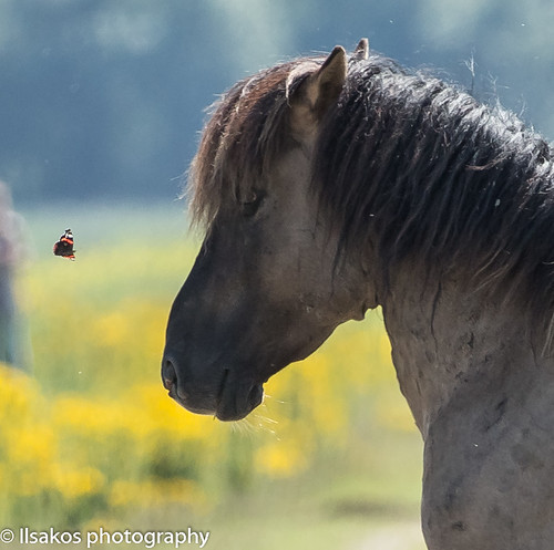 butterfly meets horse close up