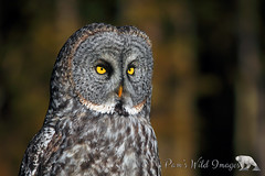 Nice Hooter (PamsWildImages) Tags: great grey owl bird raptor nature wildlife canada bc pamswildlimages