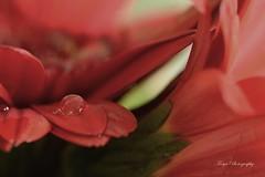 Small ocean... (Maria Godfrida) Tags: drop droplet waterdrop closeup macro blur tamron flower pink flora nature gerbera garden bokeh nikon plant red peach 7dwf