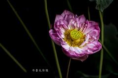 D66_9972 (brook1979) Tags: 台北市 植物園 荷 蓮 荷花 蓮花 葉 花 lotus flower