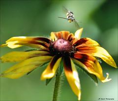 """ Incoming ! "" (John Neziol) Tags: jrneziolphotography nikon nikoncamera nikondslr nikond80 nature bee bokeh macro outdoor brantford wildlife wings yellow closeup blackeyedsusan blackeyedsusanbronzestrain bronzestrain photobomb"