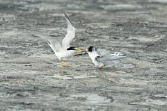 Terns Feeding - Parental Love (teckhengwang) Tags: terns parent love feed young juvenile singapore sony a77ii a77mii a77m2 a77mkii a77mk2 sal70400g nature wildlife