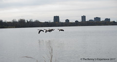 Canada Geese flying on Ottawa River (manbun2003) Tags: canada geese goose ottawa river flying fall