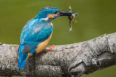 Kingfisher male with frog snack (best view in large) (Silu Junior) Tags: kingfisher frog eisvogel nature lasauge