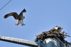 123 (GJSmith Photography) Tags: osprey gjsmith birds nikon d750 200m 500m clutch nest birding 500mm uper telephoto