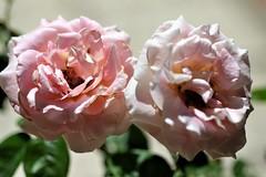 Antes que el calor las marchite.. (ameliapardo) Tags: rosas floresplantas calor marchita sevilla españa andalucía macro fujixt1