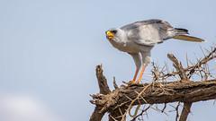 Tsavo East-9221 (ovg2012) Tags: easternpalehantinggoshawk kenia kenya stripedbarksnake tsavowestnationalpark
