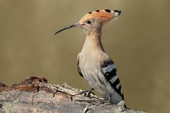_MG_8607Ps2 (marcel652016) Tags: upupa birds avifauna uccelli