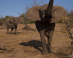 IMGP1900 (Claudio e Lucia Images around the world) Tags: elephant smelling curious trunk close botswana