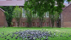 009crpshsataconacol (citatus) Tags: flock pigeons george hislop park gay village toronto canada summer afternoon 2017 pentax k3 ii