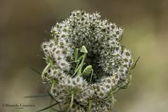 Mantis_17-07-06__G6C9726-1 (Ricardo Giménez) Tags: naturaleza mantis religiosa macro sierra calderona canon sigma 150 flores insectos