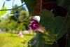 In Bloom (Armin Šaković) Tags: pink flower green leaves nature banja luka bosnia countryside summer