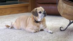 puggle isthatfoodisense dog attentive listening hungry oldboy chunkyolddog