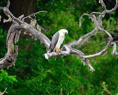White-bellied Sea Eagle - Wildlife Sri Lanka. (Dunstan Fernando) Tags: dunstan dunstanphotography wildlife wildlifesrilanka wildlifebundalanpsrilanka nature raptor outdoor eagle seaeagle bundala whitebelliedseaeagle