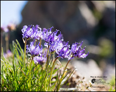 Phyteuma hemisphaericum L. (Enrico Moser) Tags: trentino lagorai estate summer verano flora flowers fiori montagna mountain omd olympus campanulacee