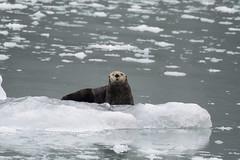 Sea Otter (Baractus) Tags: sea otter john oates kenai fjords np alaska us