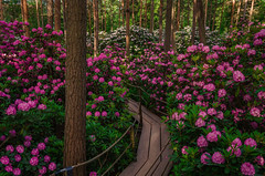 The Flowering Forest (tinamar789) Tags: rhododendron park forest flower flowering tree woods haaga helsinki finland