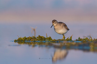 Wood Sandpiper Early Morning Search