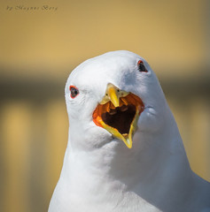 Why wont mama and papa feed me!? (m3dborg) Tags: seagull seagulls seabirds seabird animal animals outdoor outdoors nature city rooftop