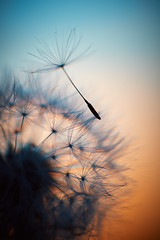Dawn of new Life (Christoph Kampf) Tags: dandelion cute pretty sunset glow warm plant nature life earth seed nikon d700 60mm macro macrophotography macros close closeup sky skycolor color light evening soft detail nikkor