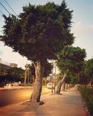 "Alexandria ("" Don Quixote "") Tags: street alexandria egypt مصر اسكندريه tree"